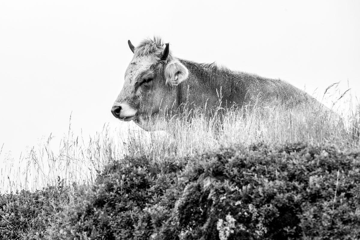 Vache Autrichienne liberté Autriche