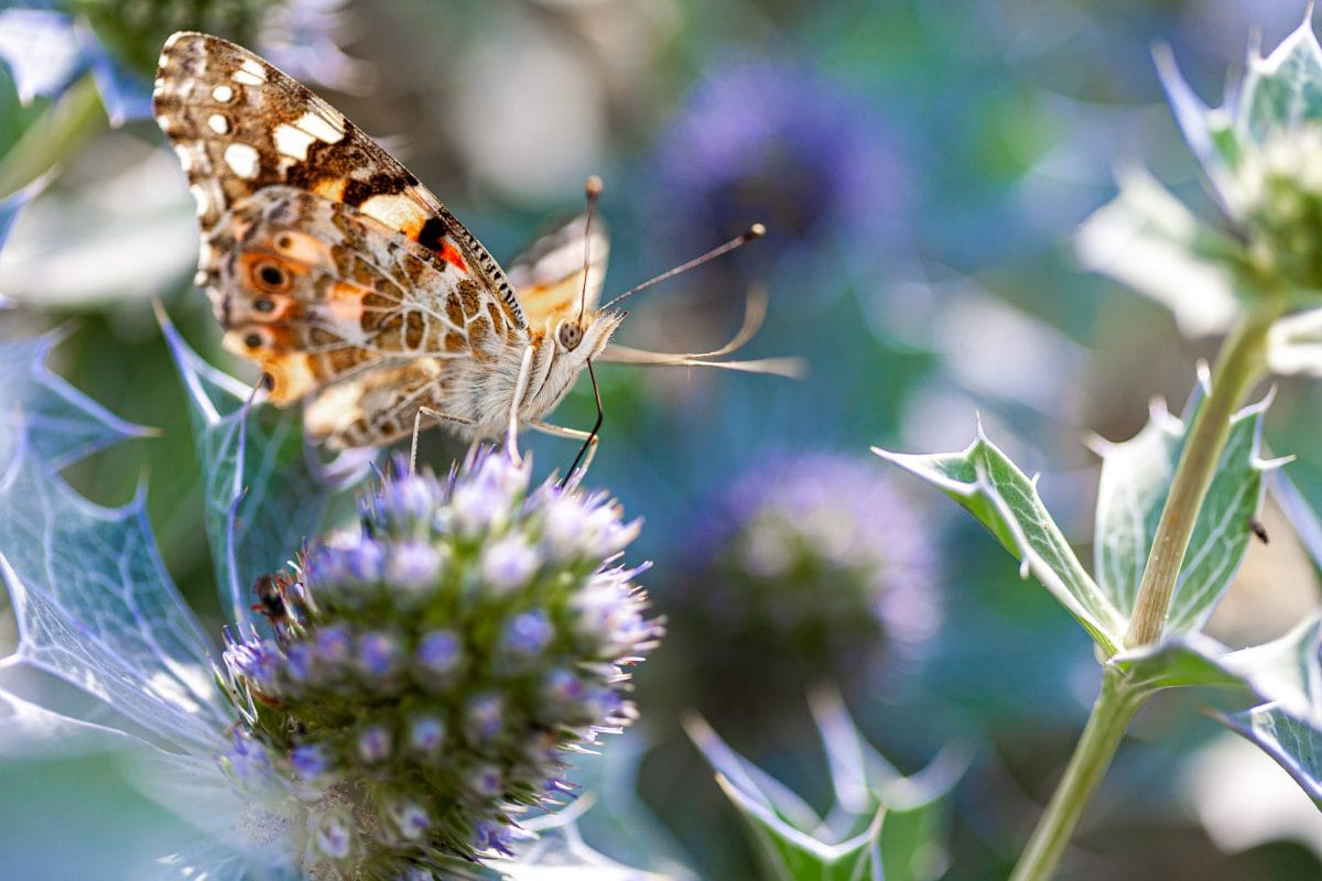 Papillon Belle-Dame Chardon